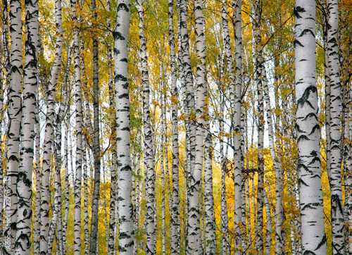 Autumn birch trunks