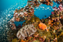 Vibrant Coral Reef With Hundreds Of Glass Fish At The SS Yongala Ship Wreck, Great Barrier Reef, Australia