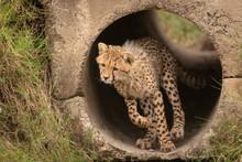 Cheetah Cub Runs Through Pipe ...