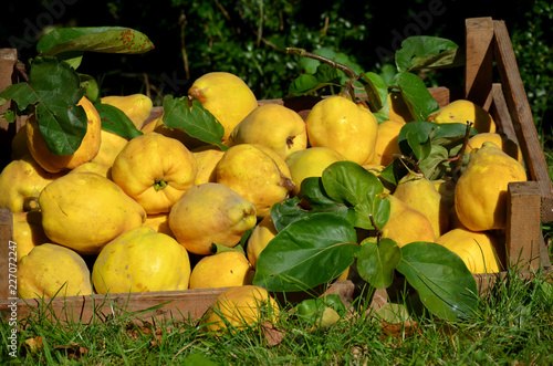 Quinces harvest Cydonia oblonga Poster Mural XXL