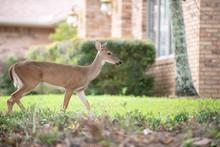 Deer Walking Front Of House