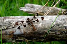 Twelve Spotter Skimmer On Log