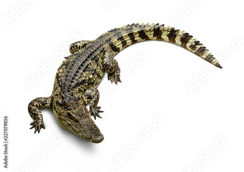 Photographie Freshwater crocodile Thai Species or Siamese crocodile ( Crocodylus siamensis ) view from above isolated on white background