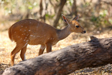 The Imbabala Or Cape Bushbuck (Tragelaphus Sylvaticus) In The Thicket By The River. Antelope In The Bushes.
