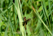 Widow Skimmer Perching On Grass Leaf
