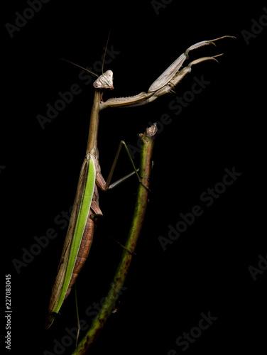 Fotografie, Obraz  Praying Mantis