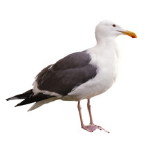 Seagull On White Background