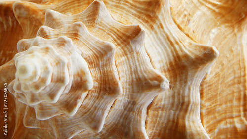Close Up of Large Conch Shell Canvas Print