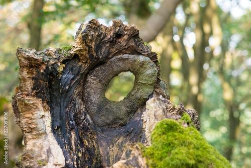 """Durchblick, Astloch in einem Baumstumpf, Naturdenkmal Hutewald """"Halloh"""" bei Albertshausen, Naturpark Kellerwald-Edersee, Hessen, Deutschland"""