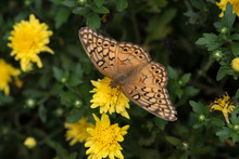 Variegated Fritillary Butterfly On Yellow Mum Bloom