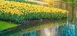 Field of yellow Dutch tulips with reflection in the water.