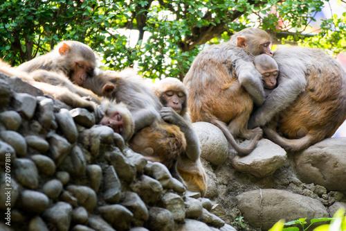Fotografie, Obraz  Sleeping Monkey Group