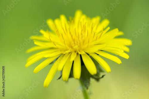 Fotografie, Obraz  Taraxacum officinale common yellow meadow flowering plant, dandelions flowers in