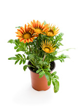 Colorful  Gazania Plant In The Flowerpot Isolated On White