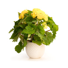 Yellow  Begonia Plant In The Flowerpot Isolated On White