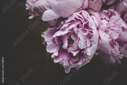 Close-up of pink flowers growing against black background