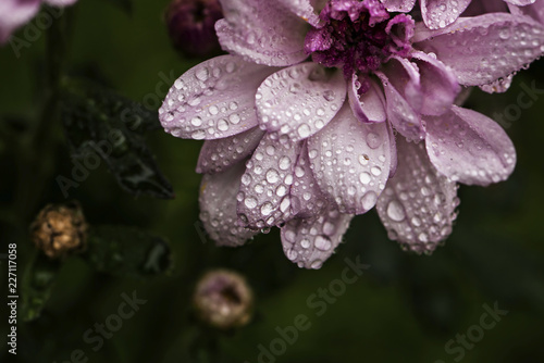 High angle view of wet pink flower growing in garden during rainy season