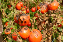 Tomatoes Get Sick By Late Blight. Phytophthora Infestans.
