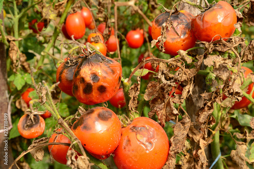 Tomatoes get sick by late blight. Phytophthora infestans. Canvas Print