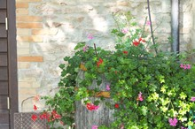 Bougainvillea Plant And Flower...