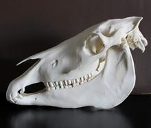 Horse Skull Photo. Horse Teeth Photo 8.