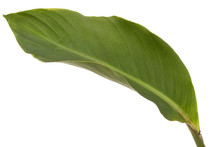 Leaf Of Canna Flower,isolated On White Background