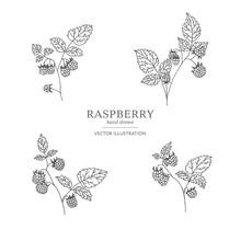 Hand Drawn Raspberry Branches