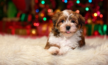 Close Up Of A Happy Havanese Puppy Is Lying In Front Of A Christmas Tree Lights