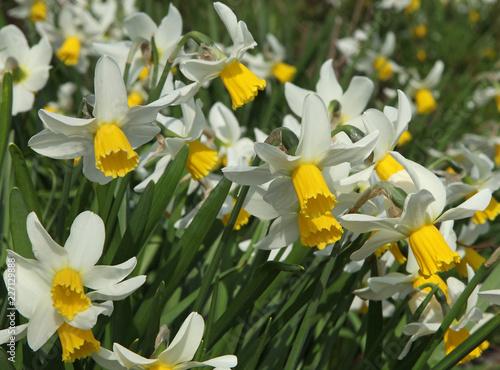 Papiers peints Narcisse Narcisses