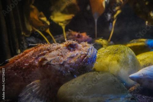 Large scaled scorpionfish