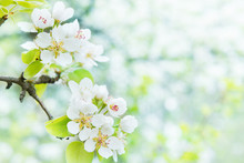 Blossom Pear Tree In White Flo...