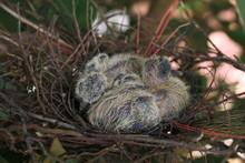 Pigeon Chicks In Nest