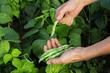 Farmer harvesting common green beans in the garden