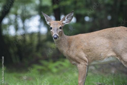 Deurstickers Hert Deer Standing in Forest