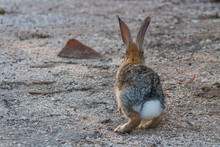 A Desert Cottontail Bunny Rabbit Isolated Against The Sand In Tucson, Arizona.