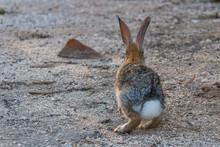 A Desert Cottontail Bunny Rabb...