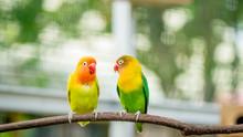 Pair Of Lovebird Agapornis Fis...