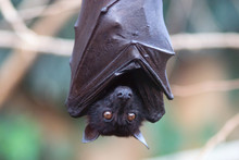 The Large Flying Fox (Pteropus...