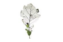 A Damaged Leaf Of The Tree, A Symbol Of Damage And Bone Fractures, Loss Of Natural Balance