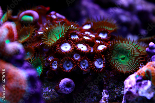 Colorful zoanthus polyp aquacultured in reef aquarium