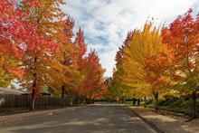 Sweetgum Trees Foliage Lined Street During Fall Season