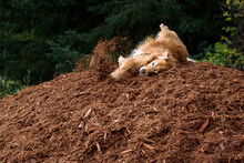 Happy Golden Retriever Rolling Around On A Beauty Bark Hill In An Off Leash Dog Park With Evergreen Trees In The Background