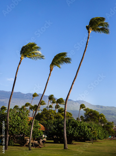 Fotografering  Trio of palm trees in wind