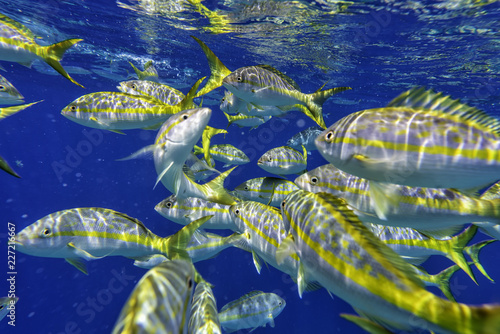 Colorful Yellowtail Snappers fish in blue Caribbean waters. Selective focus