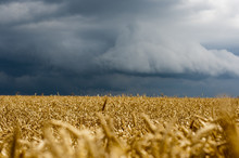 Wheat Gold Field Before Storm.