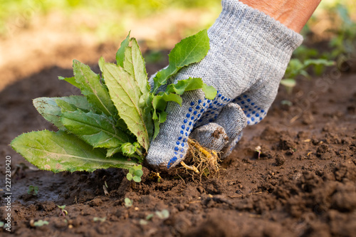 Fototapeta Close Up Of Gardening Hand In Glove Pulling Out Weeds Grass From Soil. Work In Garden. obraz