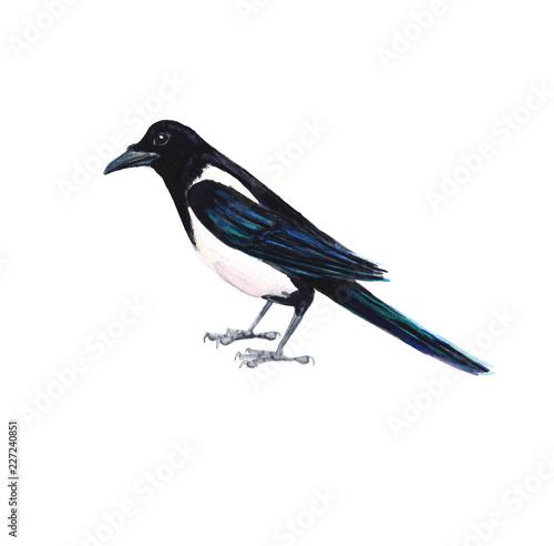 Stampa su Tela Watercolour hand painted bird magpie design element