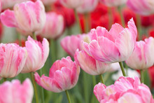 Wonderful Pink Striped And Red Tulips Adorn The Flower Bed In The Garden