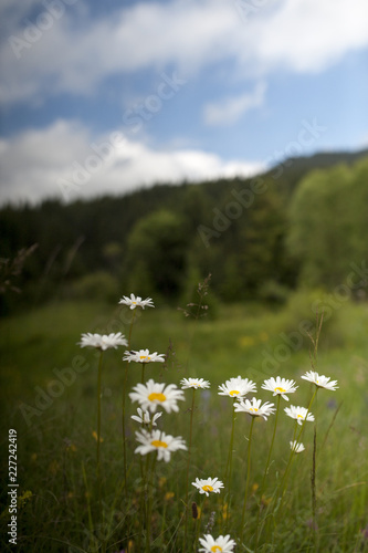 Foto op Canvas Madeliefjes Mountain daisy above the sky