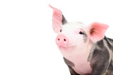 Fototapeta Zwierzęta - Portrait of a cute cheerful pig, isolated on white background